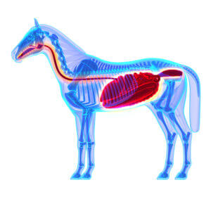 Horse Digestion and Colic