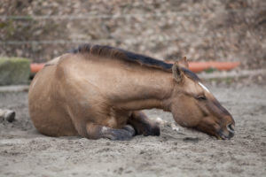 Colic Pain in the Horse