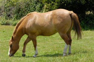 Horse, Metabolic Syndrome, Insulin and Leptin Resistance